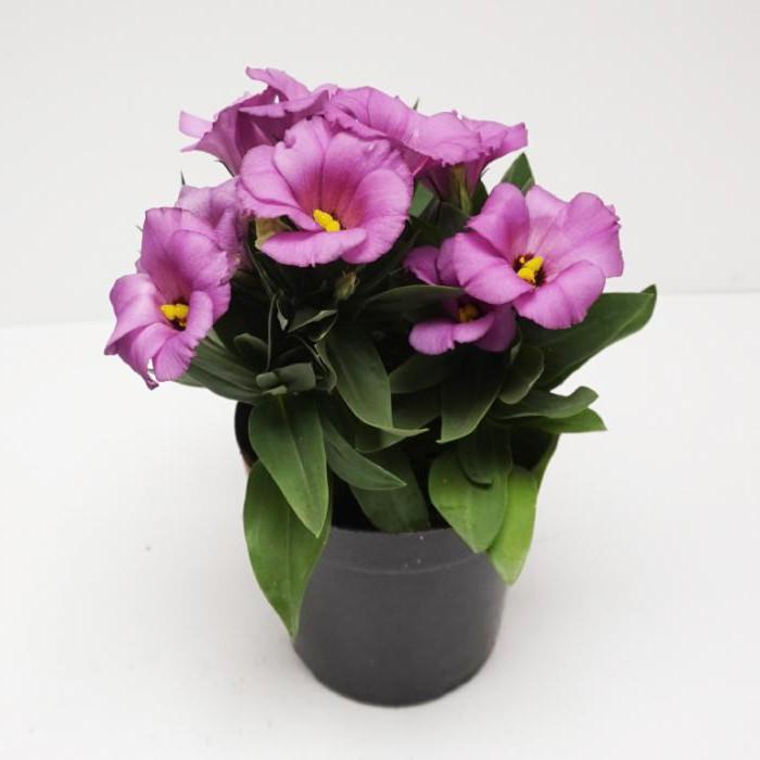 цветок эустома уход в домашних условиях