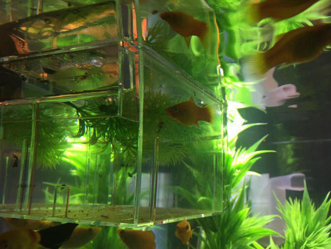 рыбка моллинезия баллон