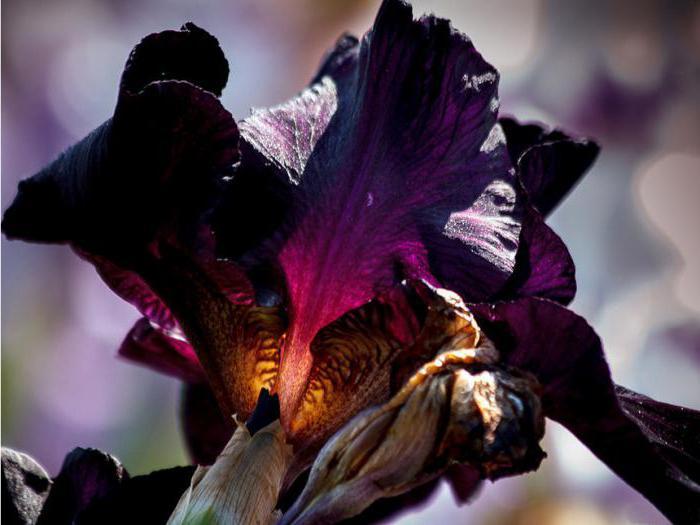 ирис описание значение цветка