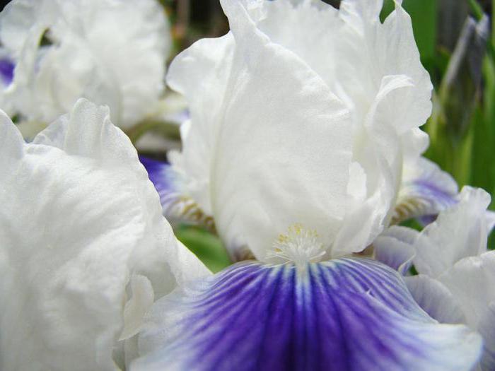 ирисы значение цветка фен шуй