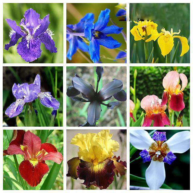 к чему дарят ирисы значение цветов