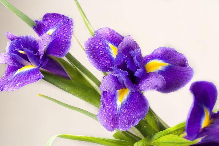 значение цветов ирисы
