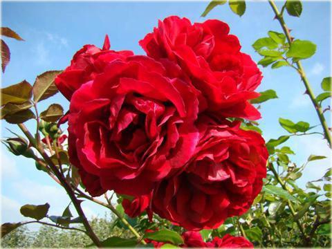 фото плетистых роз
