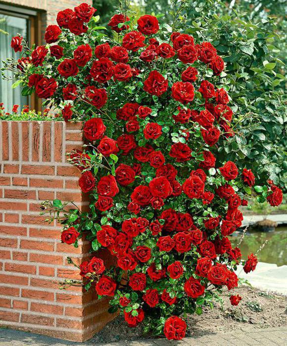 плетистая роза amadeus