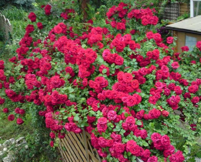 Плетистая роза амадеус фото и описание