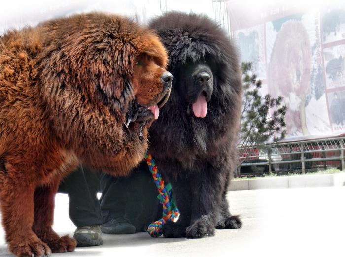 Huge Russian Dog Related Keywords & Suggestions - Huge Russian Dog ...