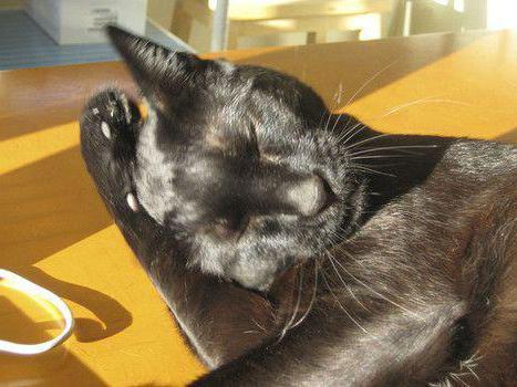 кошка трясет ухом и чешет