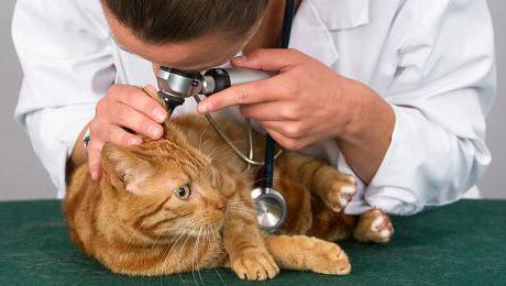 кошка постоянно чешет уши что делать