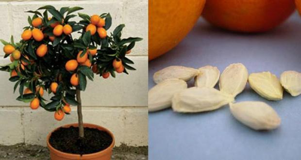 Как в домашних условиях посадить апельсин из косточки