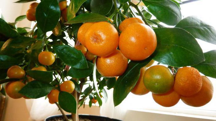 апельсин уход