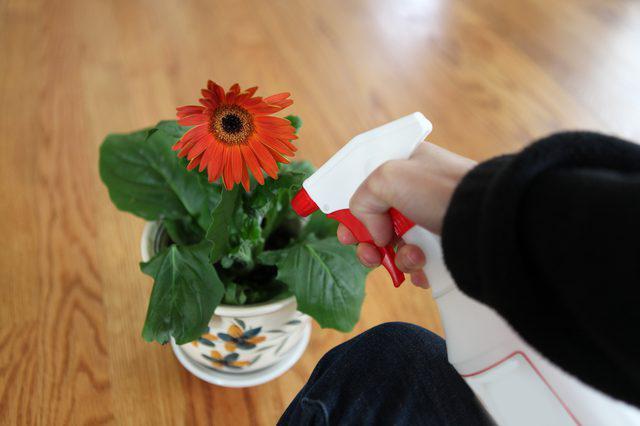 гербера джемсона из семян в домашних условиях