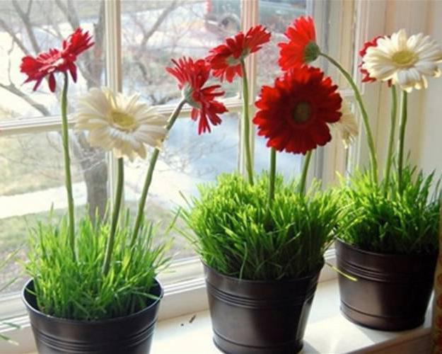 Как выращивать герберы в домашних условиях