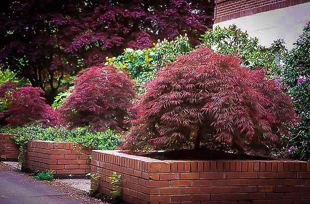 карликовые кустарники с красными листьями