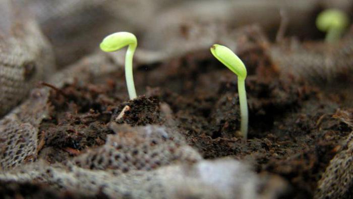 Астра пионовидная выращивание из семян