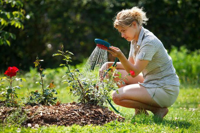 когда вносить осенние удобрения под розы