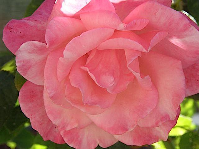 уход за розами осенью подготовка к зиме