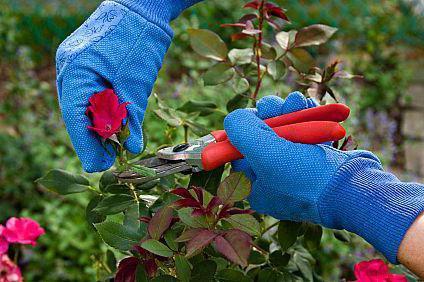 калийные удобрения для роз осенью