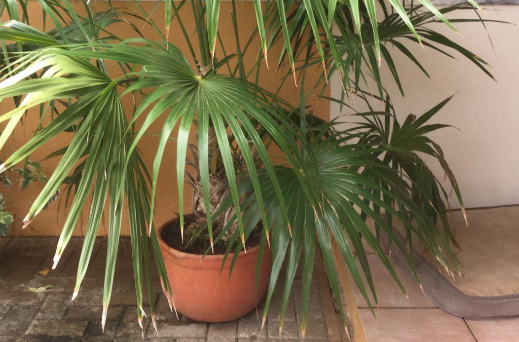 Декоративная пальма сабаль