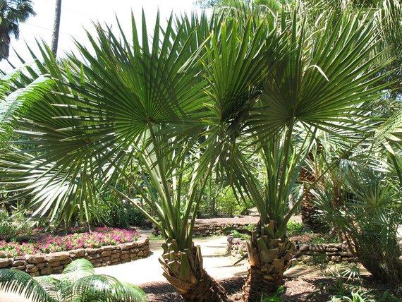 Лечебные свойства пальмы