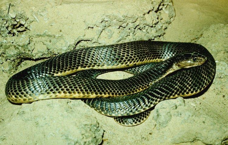 Среднеазиатская кобра: описание, размножение, где обитает
