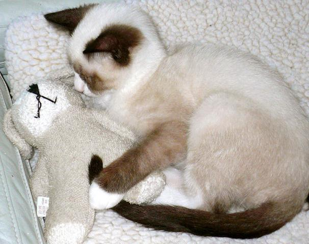 коты сноу шу
