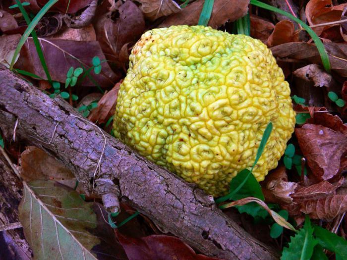 Адамово яблоко лечебные свойства при варикозе