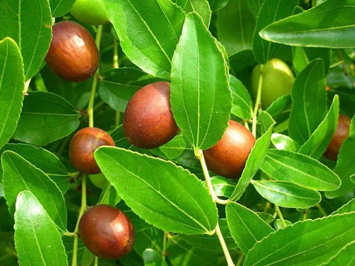 Плоды унаби польза и вред