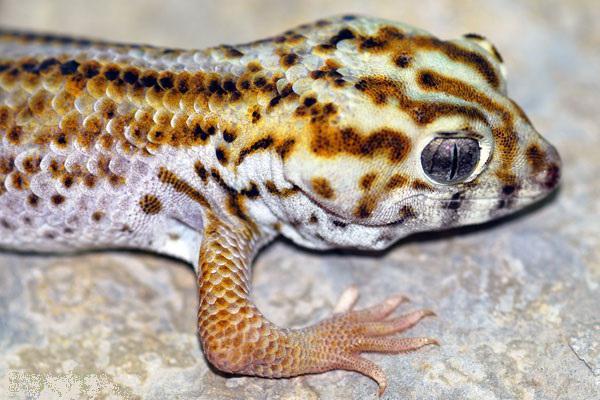 пискливый геккончик