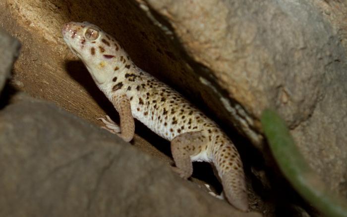 пискливый геккончик интересные факты