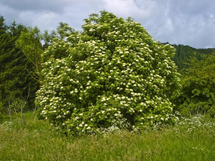 бузина растение
