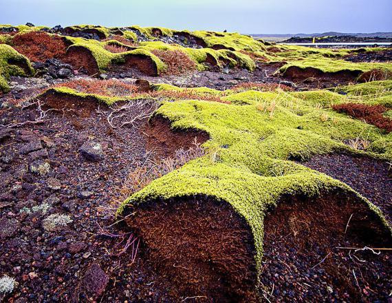 как заваривать исландский мох от кашля для детей