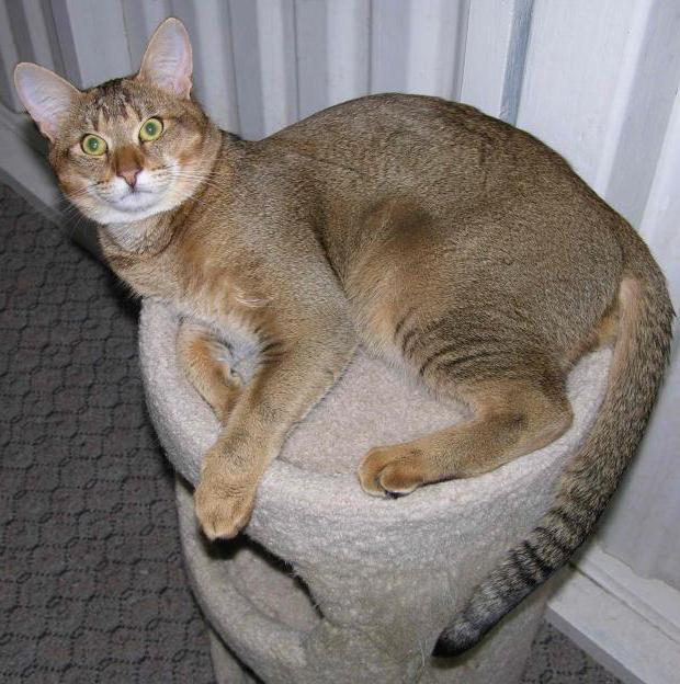 камышовый кот фото домашний