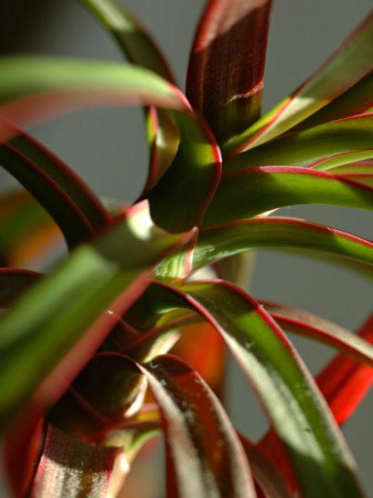 Комнатные растения и цветы на букву б в фото названия