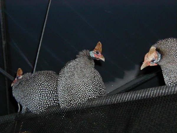цесарка птица описание