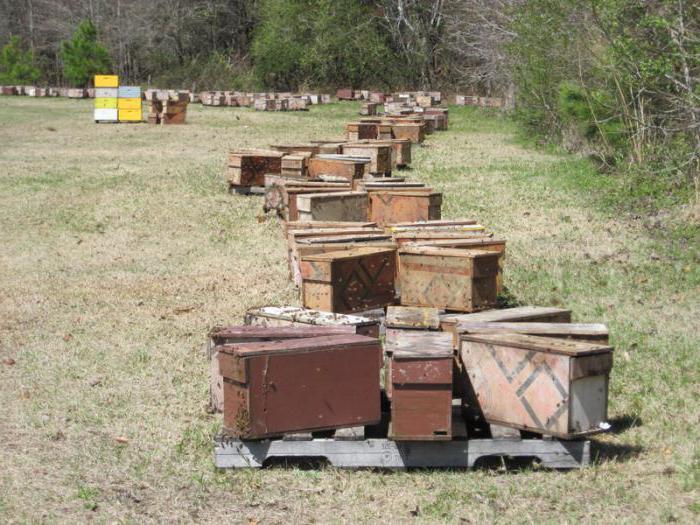Пчелы: породы пчел, описание, характеристики, продукция пчеловодства