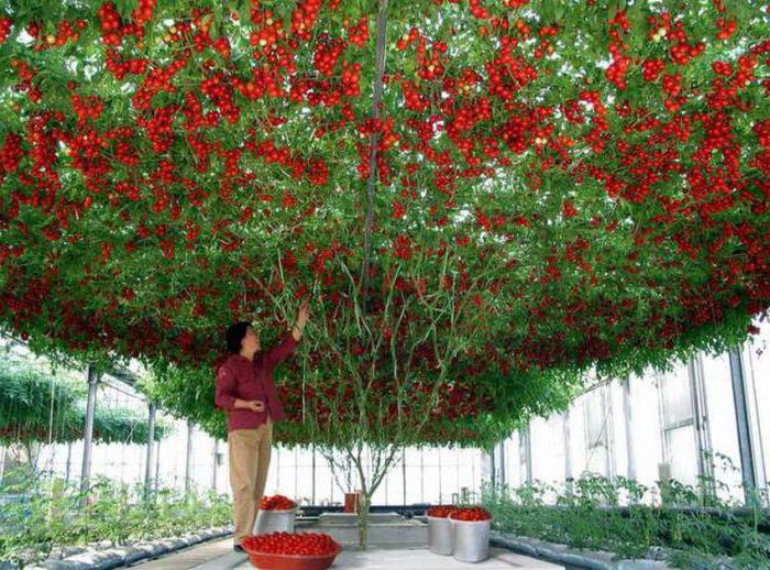 томат спрут f1 фото отзывы