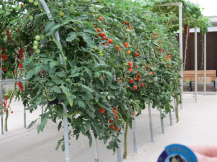 томаты спрут f1 отзывы