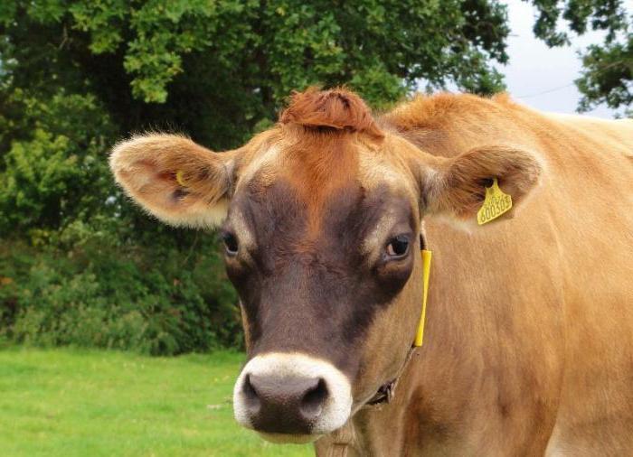 корова джерсейской породы