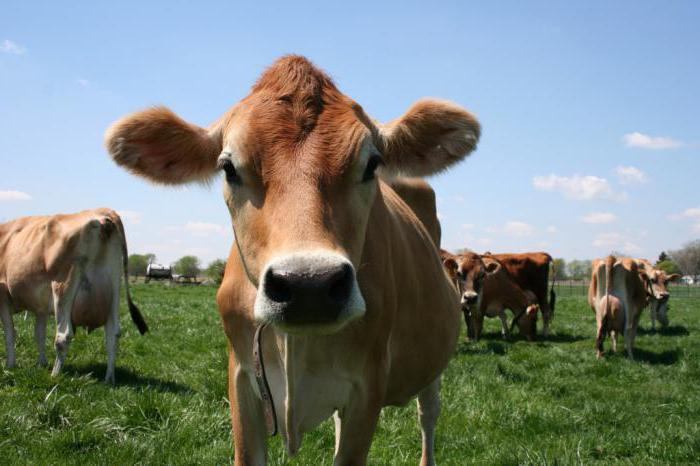 Старые коровы секс
