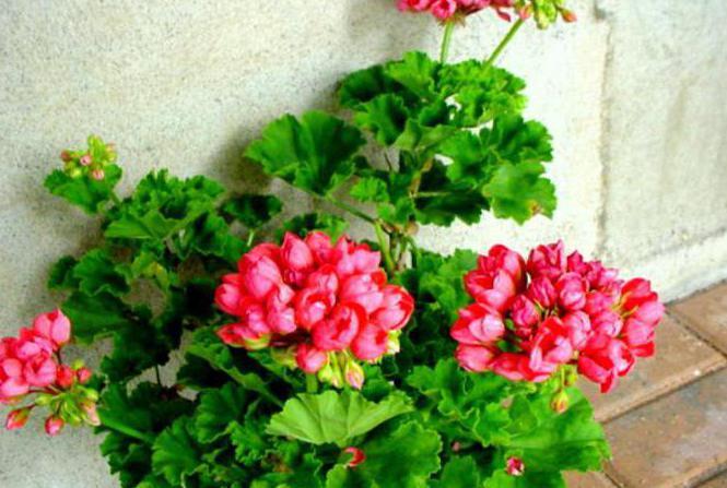 red pandora тюльпановидная пеларгония
