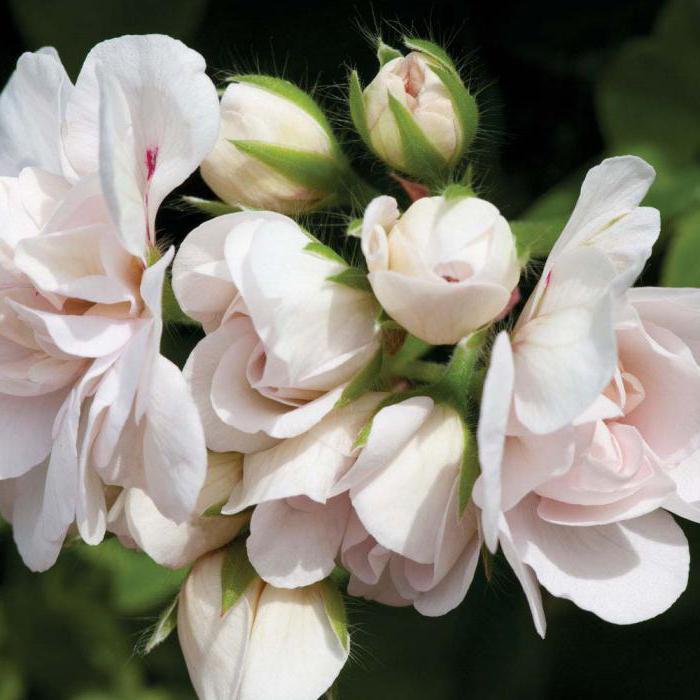 где купить тюльпановидную пеларгонию