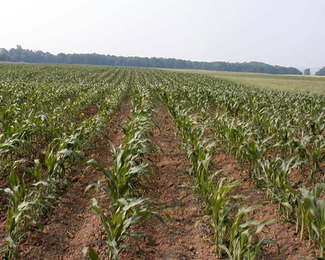 кукуруза сахарная выращивание