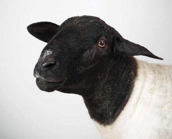 дорпер порода овец