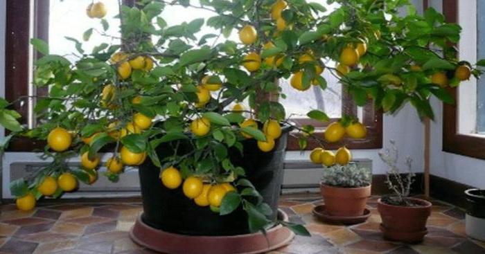 выращивание лимонов и мандаринов в комнатных условиях