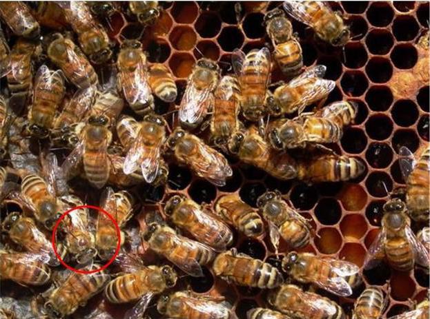 бипин для пчел инструкция
