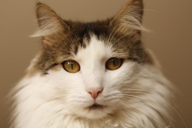Блошиный аллергический дерматит у кошек