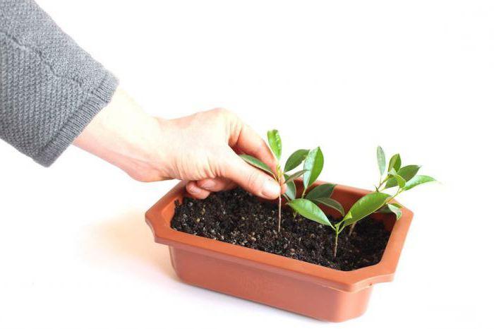 Как посадить черешню в домашних условиях 860