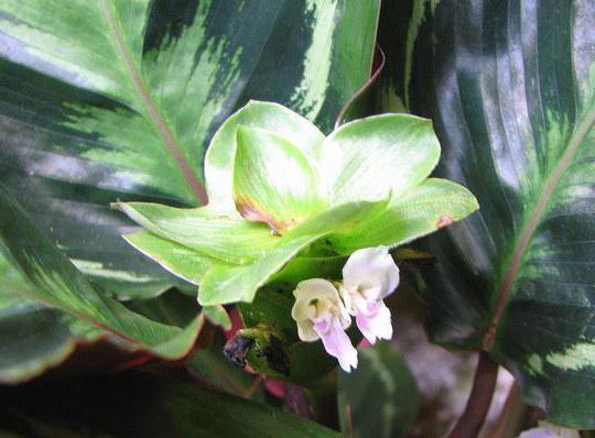 цветы калатея медальон