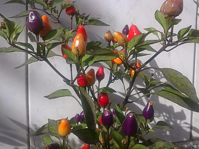 Перец маленькое чудо выращивание 41