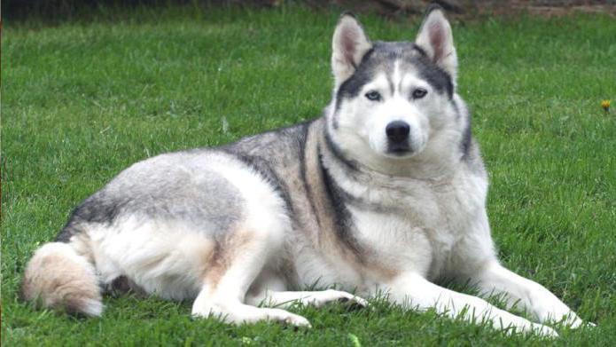 Ñ'оп 10 самых сильных собак в мире сибирский хаски